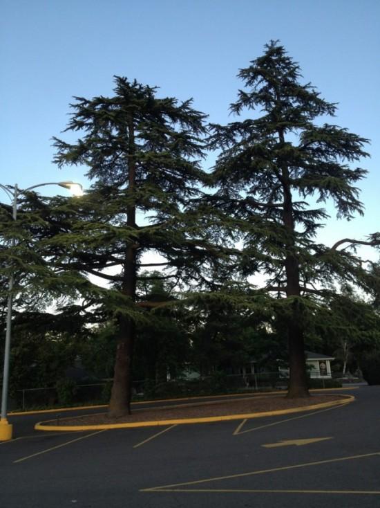 Deodar Cedars