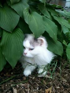 Rare Suburban Hosta Cat